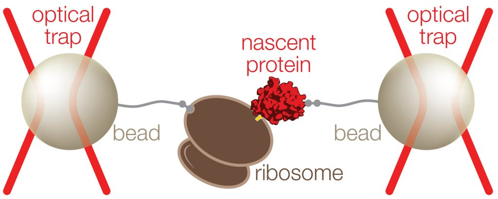 ribosome-nascent chain complex pulled with optical tweezers