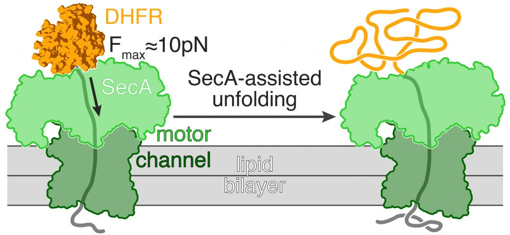 Sec-dependent translocation of DHFR
