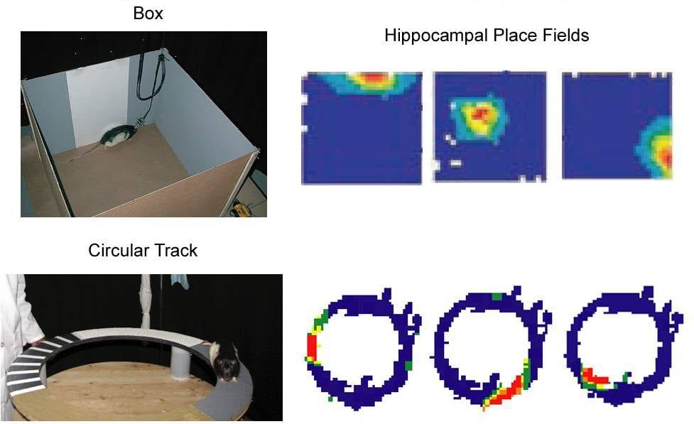 hippocampal place fields