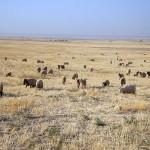 Sheep on Kurd Qaburstan lower town